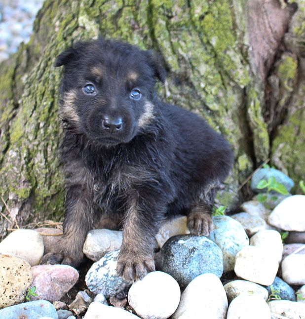 German Shepherds For Sale Near Fort Wayne Indiana Germanshepherd