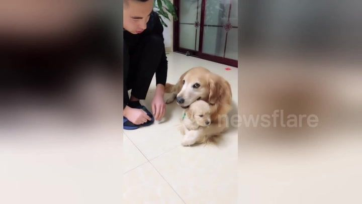 Protective Golden Retriever Prevents Puppy From Being Scolded By