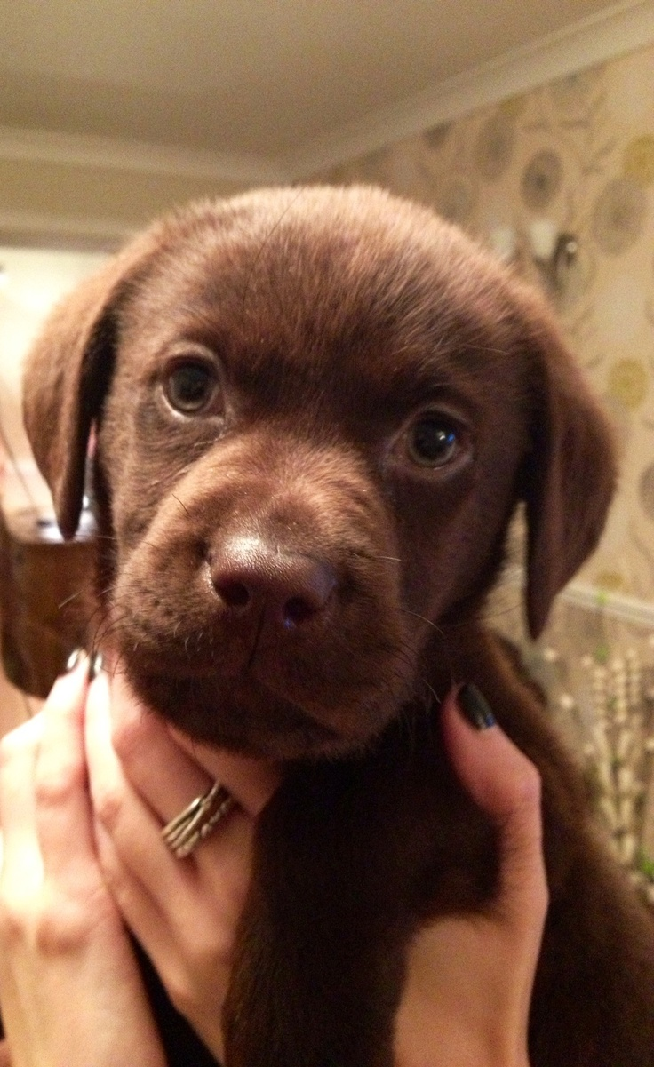 940 best Dog Love images on Pinterest | Chocolate labs, Animals ...
