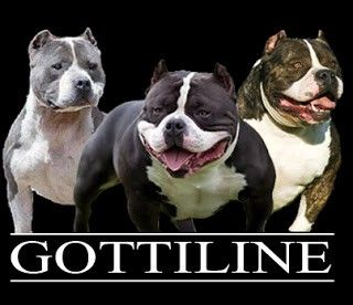 The Gottiline Pit bull Bloodline, otherwise known as the Gotti Pitbulls, Gottyline or Gotty Pitbulls have become one of the most popular…
