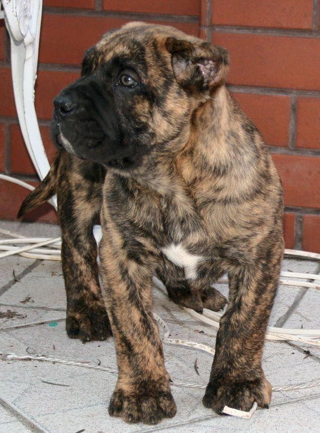 Presa Canario Puppy #ilovemydogocanario | Mastiff dogs ...