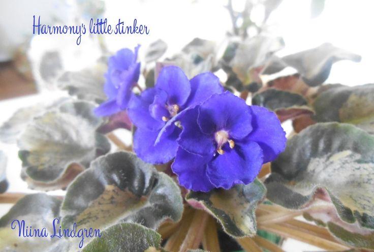 Saintpaulia harmony's little stinker