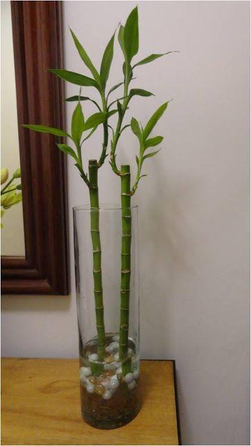 die besten 25 planta de la suerte ideen auf pinterest bambuspflanzen gl cks bambuspflanze. Black Bedroom Furniture Sets. Home Design Ideas