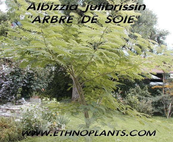albizia julibrissin à cultiver, très bel arbre d'ornement: #albizia https://www.ethnoplants.com/fr/graines-et-plantes-d-exterieur/305-albizia-julibrissin-arbre-de-soie-graines.html