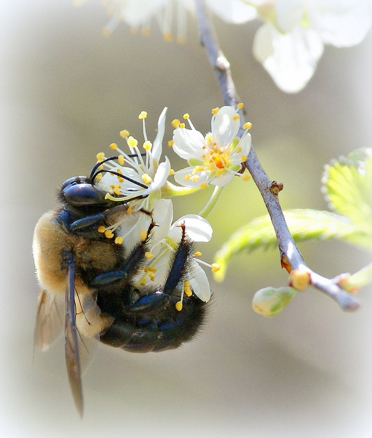 BUMBLE BEE by PALEIDIA-Very Busy, via Flickr