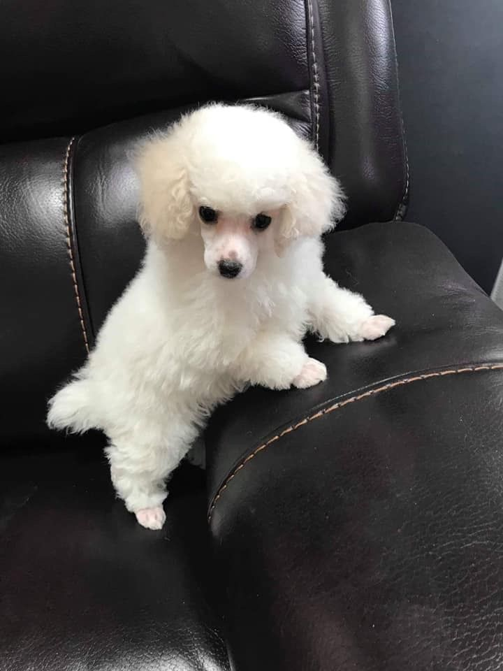 Poodle Puppies For Sale Red Poodle Miniature Poodles Toy