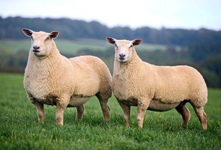 charollais sheep - Google Search