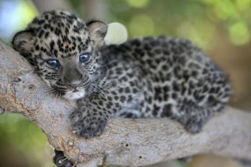Leopard Cub Resting on a Tree Limb.