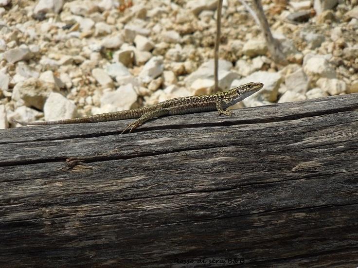 Menfi - Porto Palo bike path  Lizard