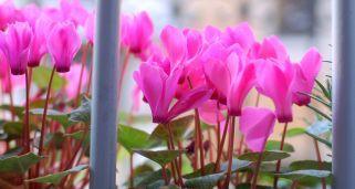 Plantas de otoño para el balcón