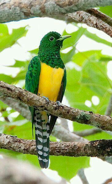 ミドリカッコウ African emerald cuckoo (Chrysococcyx cupreus)male