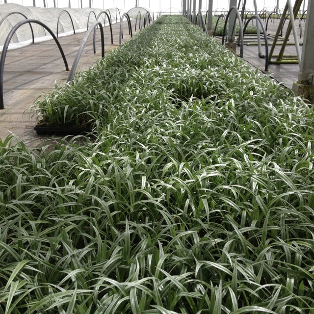 Young plants of the wonderful and new stnning silver foliage container plant Astelia Silver Shadow.