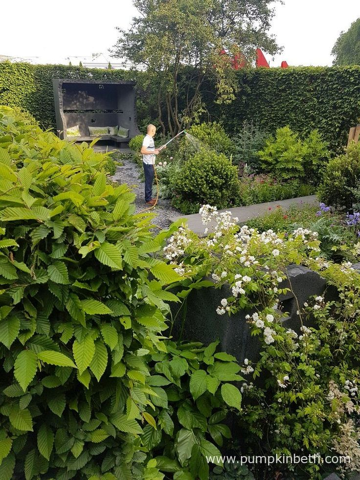 Darren Hawkes pictured watering the Linklaters Garden for Maggies, which Darren designed for the RHS Chelsea Flower Show 2017.