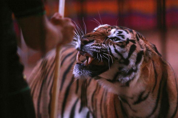 Seekor harimau memandang pelatihnya saat pelatihan terbuka untuk media pada Sirkus Fuentes Boys di Mexico City, Meksiko, 19 Juni 2014.