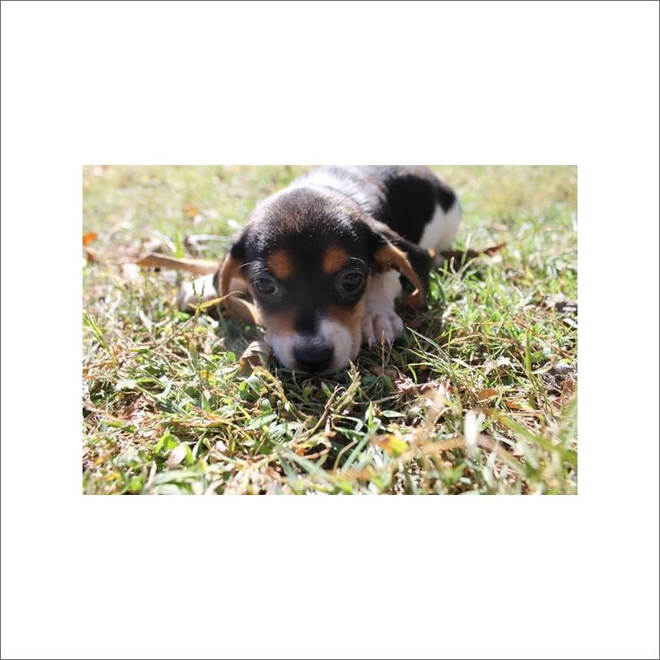 Beagle puppy for sale in TUCSON, AZ. ADN-51026 on PuppyFinder.com Gender: Female. Age: 9 Weeks Old