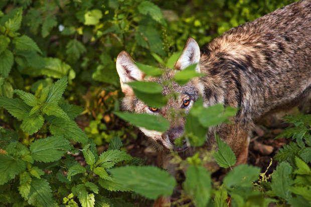 Le loup est de retour, arrivé naturellement d'Italie et de SlovénieCréé en 2005 à Saint-Martin-Vésubie, le parc Alpha (10 ha) laisse les loups en semi-liberté. Là, le grand public peut observer l'animal et comprendre les difficultés liées à son retour.