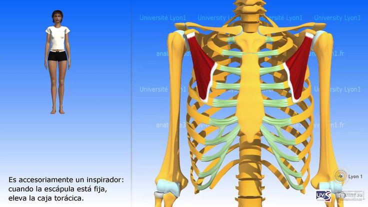18 best anatomía 3D MUSCULOS images on Pinterest | Músculos ...