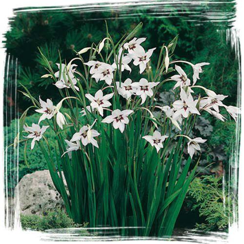 Doftlilja - Gladiolus callianthus