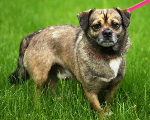 Rocky is a pug/corgi mix in Beldenville, WI.