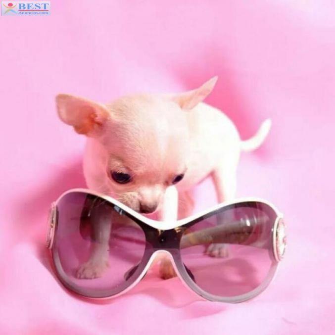 Perros Chihuahuas miniatura exclusive puppydiamond Cataluña Barcelona - BestAnuncios.com