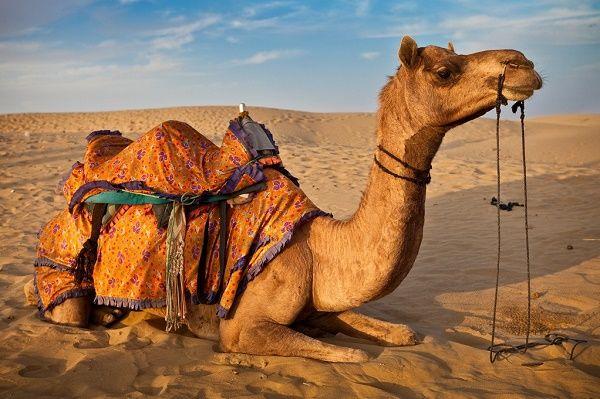 Camelo no deserto. Os camelos (Camelus) constituem um gênero de ungulados artiodáctilos (com um par de dedos de apoio em cada pata) que contém duas espécies: o dromedário (Camelus dromedarius), de uma corcova, e o camelo-bactriano (Camelus bactrianus), de duas corcovas.