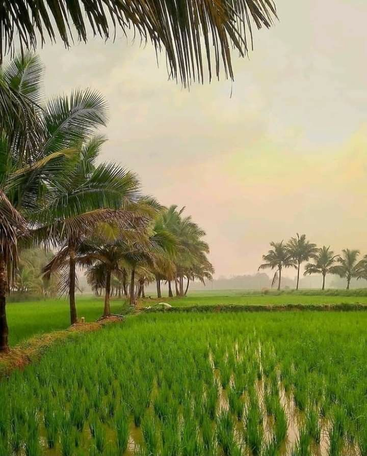 Kerala Paddy Field Morning Alappuzha Photography Kerala Travel Amazing Photography Kerala hd wallpapers for mobile
