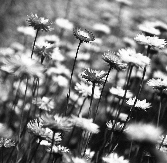 Perth - Kings Park Everlastings #perth #kingspark #everlastings #wildflowers #westernaustralia #australia