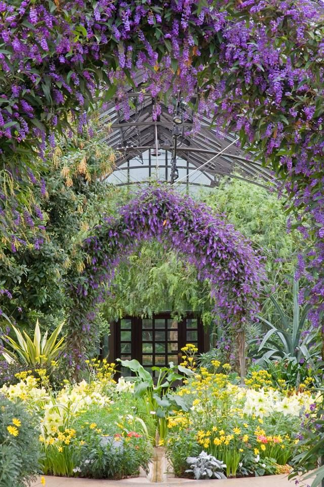 """""""The Mediterranean Garden is in full bloom now! Coral-pea (Hardenbergia violacea ′Happy Wanderer′) has burst into bloom providing a canopy of tiny purple flowers."""""""