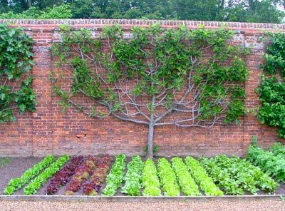 Edible Landscaping: espaliered fig, vegetable garden | jardin potager | bauerngarten | köksträdgård