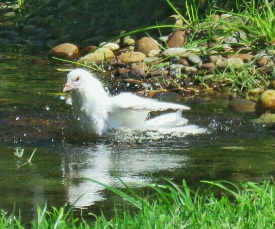 Dove cooling off