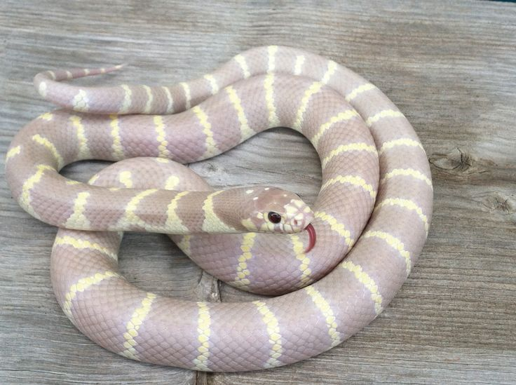The Best California King Snake Ideas On Pinterest Snakes - California king snake morphs