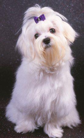 Maltese Advice You Can Trust Maltese Dogs Pinterest