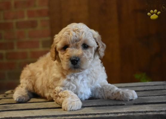 Joy Mini Goldendoodle Puppy For Sale In East Earl Pa