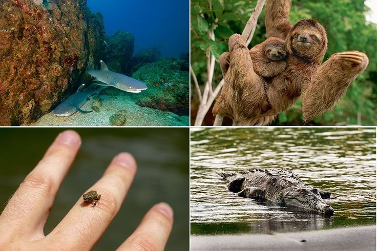 15 Living Creatures In Costa Rica Corcovado National Park which you should see :http://www.khbuzz.com/2017/11/30/15-living-creatures-costa-rica-corcovado-national-park-see/
