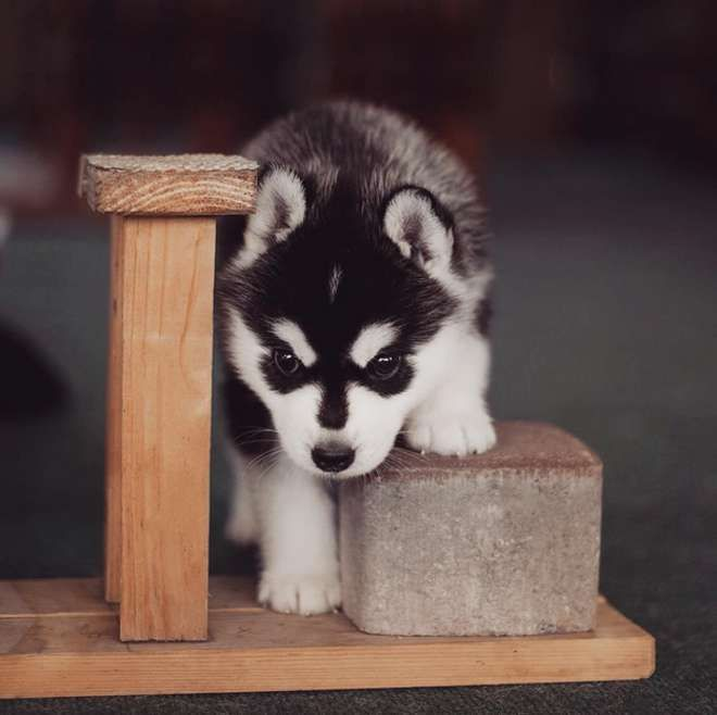 364 best images about husky puppies on pinterest cute for Tap tap fish corgi