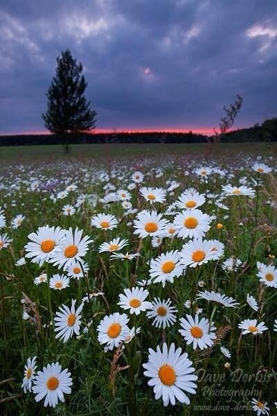 A field of beautiful daisies!!!  I love daisies!