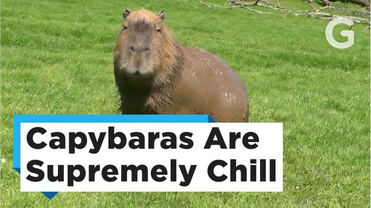 Capybaras – that is found in Central and South America – have the unique ability to befriend almost any animal, but there is so much more to learn about this semi aquatic animal.