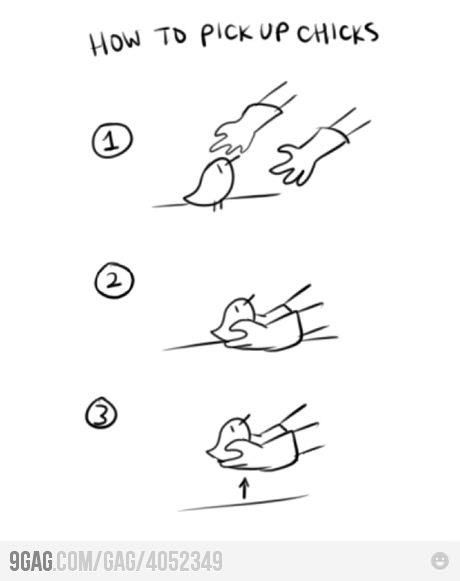 How to pick up chicks...