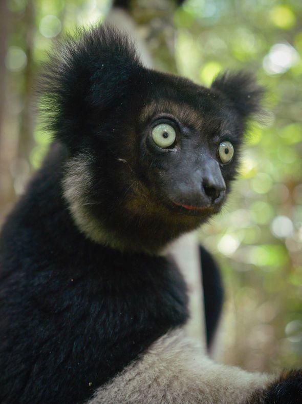 Indri BBC Planet Earth 2- brilliant absolutely brilliant!!!!!