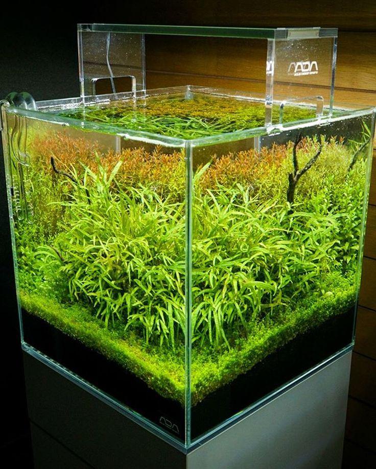 半年近く放置状態で水草が伸び過ぎて光が当たらなくなったりで調子を落としていましたがお盆休みにトリミングして復活しつつあります。 #aquarium #nature #natureaquarium #aquascape #waterplants #sonyalpha #アクアリウム #水草 #ADA #緑 #green #水槽 #aquadesignamano