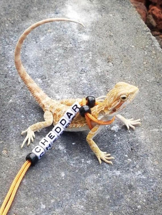 Personalized Adjustable **Tangerine** Bearded Dragon Leash