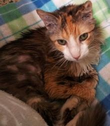 MOLLY is an adoptable Calico Cat in New York, NY. MOLLY is an 8yr spayed calico. She has been tested for felv/fiv and is negative for both viruses. She has been vaccinated for feline distemper. One of...