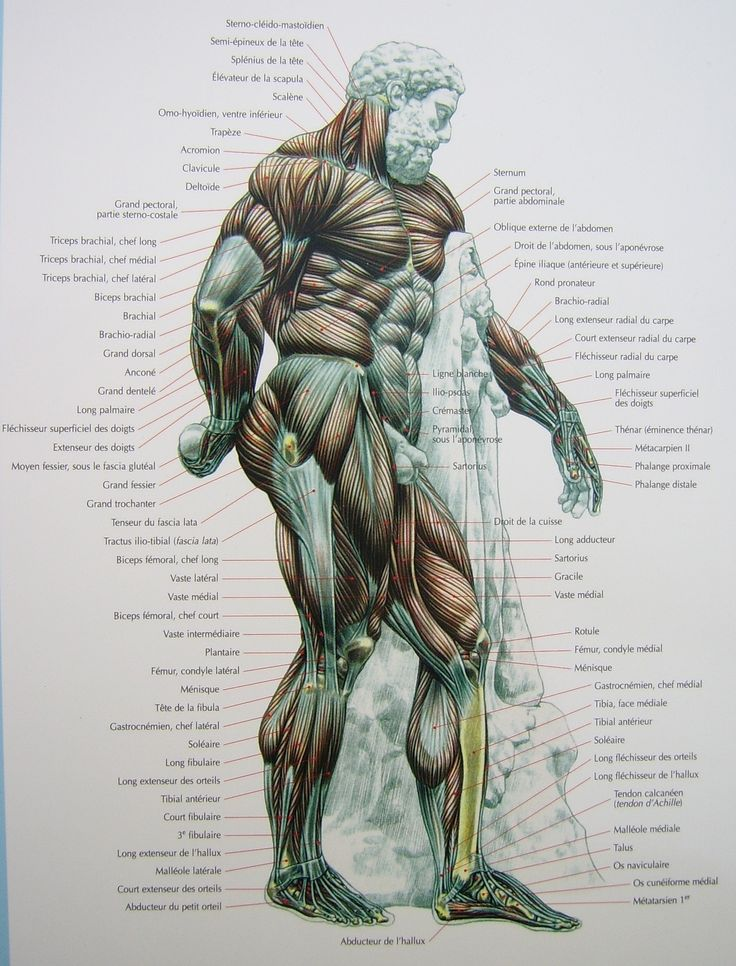 The 56 best Anatomy images on Pinterest | Anatomy, Human figures and ...