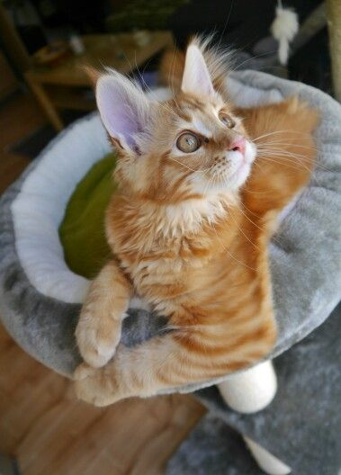 Nami the Cat   Red Cat cute  Maine coon