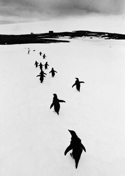 © Thomas Hoepker, 1966, Penguins fleeing from tourists, Argentina / Antarctic Peninsula