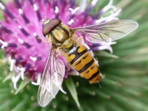 Hoverfly: Episyrphus balteatus | Nature Notes from Dorset