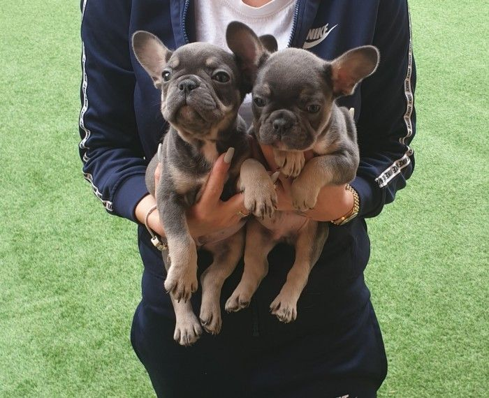 French Bulldog Puppies Kc Registered French Bulldog Puppies