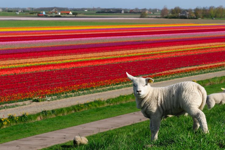 Texel, isle of flowers and wool