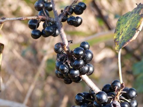 Wild Privet: the black death   Nature Notes