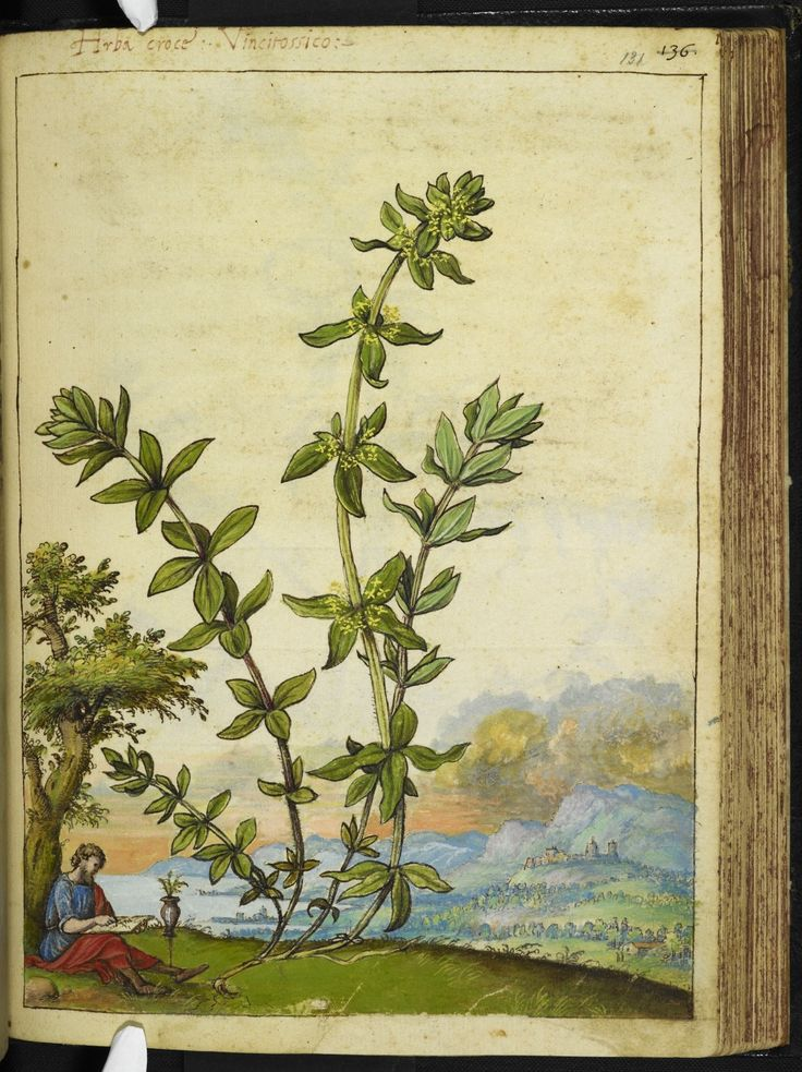 Full page botanical painting of Poligonum aviculare, labelled 'Poligono maschio Sanguinaria Seminale Coregiola centonodi' (common Knotgrass) with a man in classical robes sitting against a tree, sketching in the foreground and a mountainous landscape behind.   Dioscorides' 'De re medica', by Pietro Andrea Mattioli, Physician of Siena, assembled and illustrated by Gherardo Cibo—ca. 1564-1584.